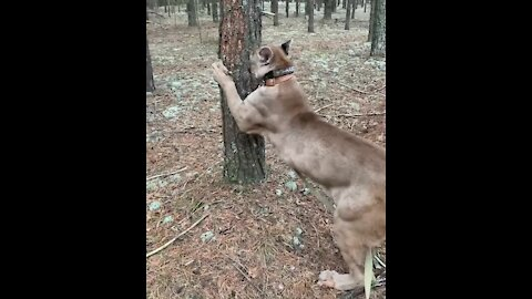Pet puma on a leash goes for a walk in the wood