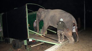 Neglected elephant is rescued from illegal wildlife traffickers after 40 years in captivity - Video