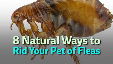 8 Natural Ways to Rid Your Pet of Fleas
