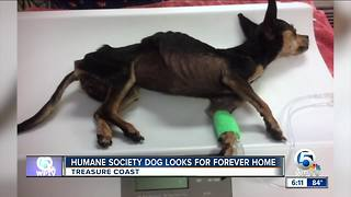 Humane Society dog looks for forever home - Video