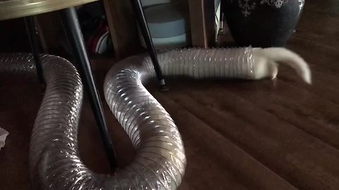 Ferrets lose it over new birthday toy