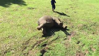 Baby elephant takes a tumble as she walks down a hill - Video