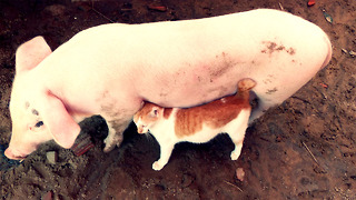 Piglet becomes best friends with kitten - Video