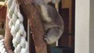 Young Koala Chases Carer and Climbs Her Leg - Video