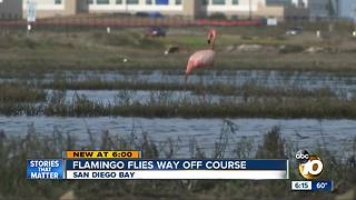 Flamingo spotted in San Diego Bay - Video