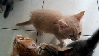 Noisy Kittens Have No Patience When It Comes to Dinner Time - Video