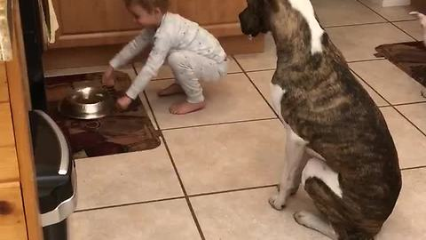 Three-Year-Old Pack Leader Makes Pit Bulls Sit Before Feeding Them