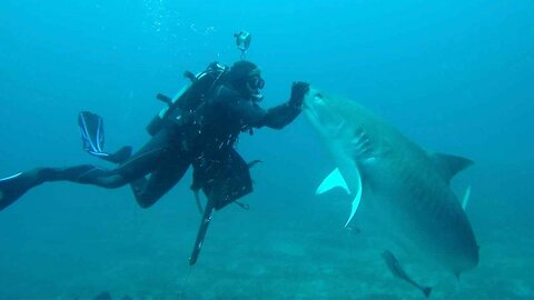 Diver Uses Hypnosis Technique To Pet Pregnant Tiger Shark On The Nose Like A Dog