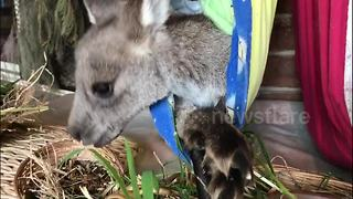 Orphaned baby kangaroos enjoy snack time - Video