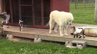 Adorable compilation of playful baby goats - Video