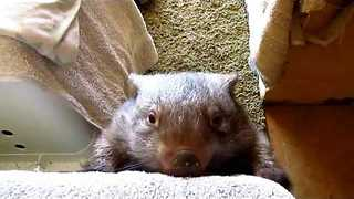 Energetic Wombat 'Helps' With Household Chores - Video
