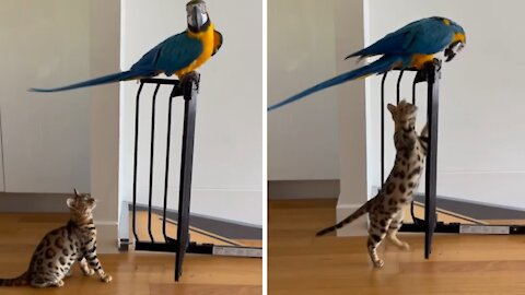 Parrot and kitten love chasing each other around the house