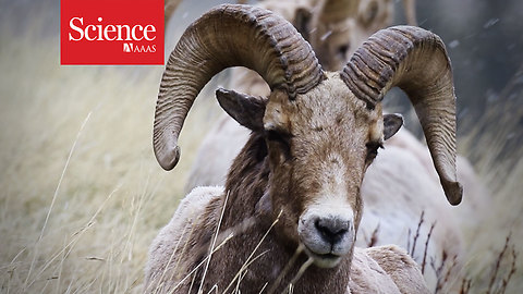 How bighorn sheep use crowdsourcing to find food on the hoof