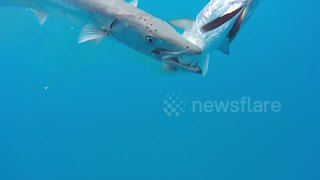 Barracuda attacking fisherman's catch - Video