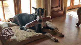 Great Dane proudly carries loaf of bread into home - Video