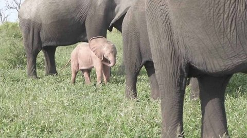 Disney-Like Scenes As Rare Pink Elephant Spotted In The Wild