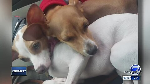 Chihuahuas stolen from homeless woman's car in Aurora