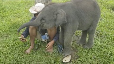 What a nosy parker! Adorable baby elephant gets her trunk in a twist trying to steal mobile phone human friend