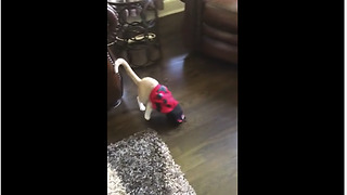 Cat very embarrassed with ladybug outfit - Video