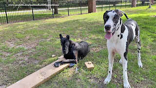 Funny Great Danes Guard Their Replacement Blinds Package