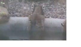 Woman Catches Three Bobcats Enjoying a Drink From Her Pool - Video