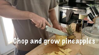 Chop and Plant Pineapple