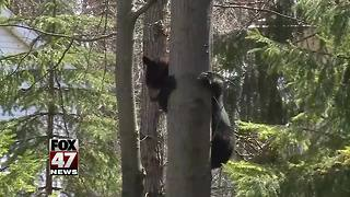 Police warning Midland residents not to approach bear - Video