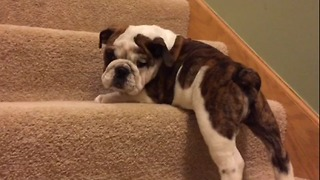 Puppy climbs stairs for the first time, conquers them