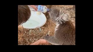 Man Quenches Koala's Thirst During Australian Heatwave