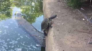 Funny Turtle Tries To Climb Out Of Water But Fails