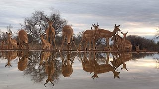 Impal-ressive! Incredible footage shows mirror image of impalas at watering hole