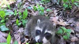 Man Finds Adorable Baby Raccoon on Walk - Video