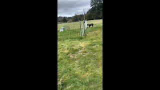 Giant Mastiff versus Electric Fence!