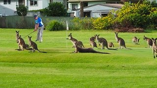 Kangaroos Crowd Australian Golf Course - Video