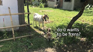 Dog meets goat for the first time