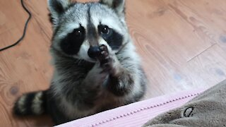 Pet raccoon learns how to adorably beg for treats