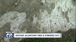 Checking in on health of Buffalo's oldest tree--5pm - Video