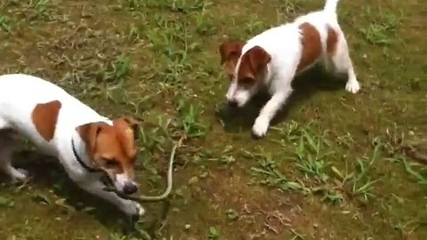 Brave Jack Russell brothers are not afraid of snakes
