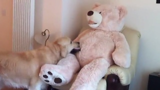 Golden Retriever befriends life size teddy bear! - Video