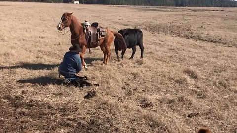 Horse Helps Ranchers Tag Calves By Protecting Them From Cows