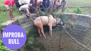 Bull rescued from 20 foot well by farmers using rope - Video