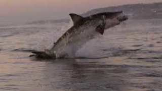 Amazing Slow Motion Footage Of A Great White Shark Breaching The Water - Video