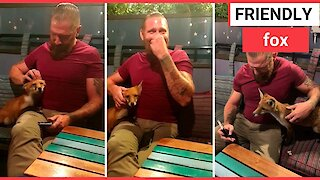 Adorable moment friendly fox cozies up to man
