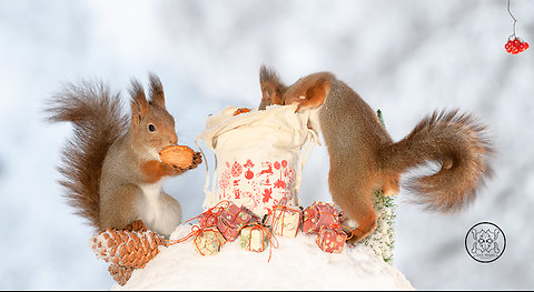 50 squirrel christmas photos and footage of Geert Weggen
