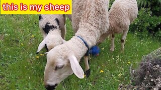 This is my sheep for a moment of consciousness