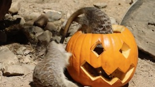 Meerkats Enjoy Spooky Pumpkin With Treats Inside