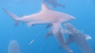 Spectacular footage captures man diving with sharks off Florida coast