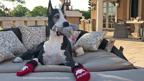 Happy Great Dane Plays with Squeaky Squirrel Toy