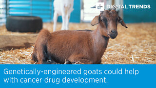 Genetically-engineered goats could help with cancer drug development.