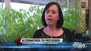 UA researchers looking for natural alternatives to chemical pesticides